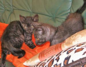 süße schwarze Katzenbabys