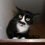 Kätzchen, schwarz weiß, einjährig